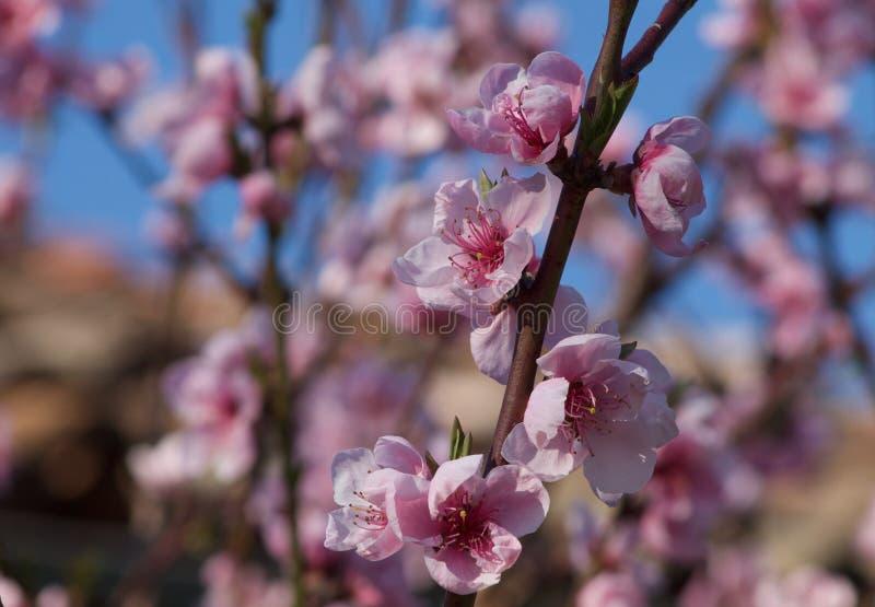 Härligt blomma för persikaträd arkivbilder