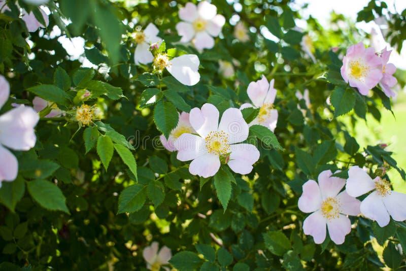 Härligt blomma för blomma steg på en bakgrund av gröna sidor royaltyfri foto