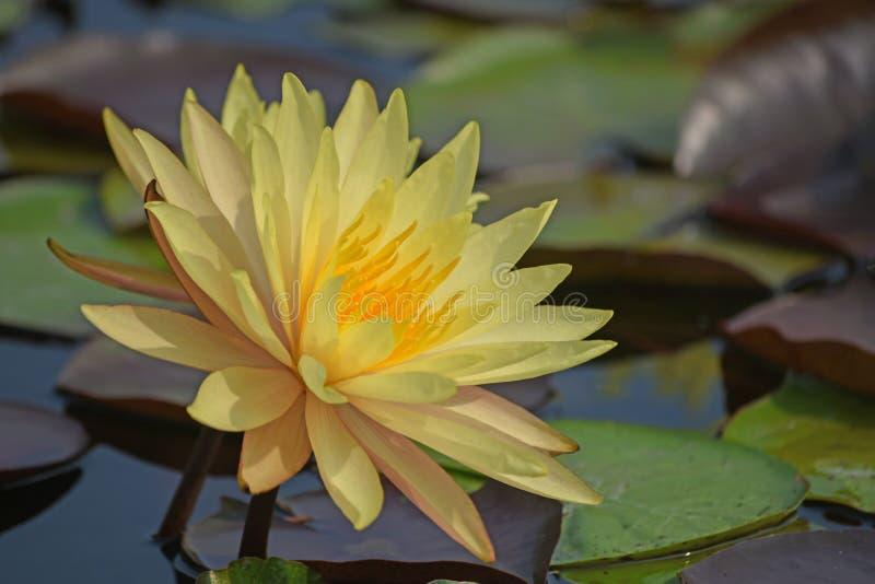 Härligt blommande gult vatten lilly arkivbilder
