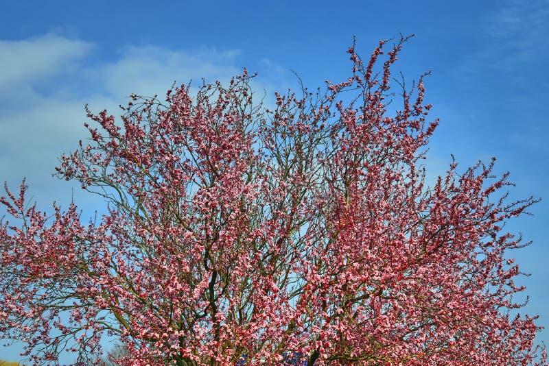 Härligt blommande plommonträd i vår mycket av rosa blomningar royaltyfri fotografi