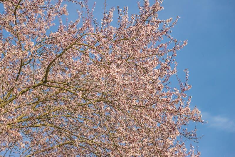 Härligt blommande plommonträd arkivfoto