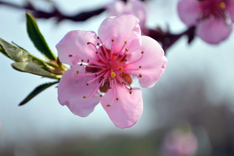 Härligt blommande rosa persikablommaslut upp arkivfoto