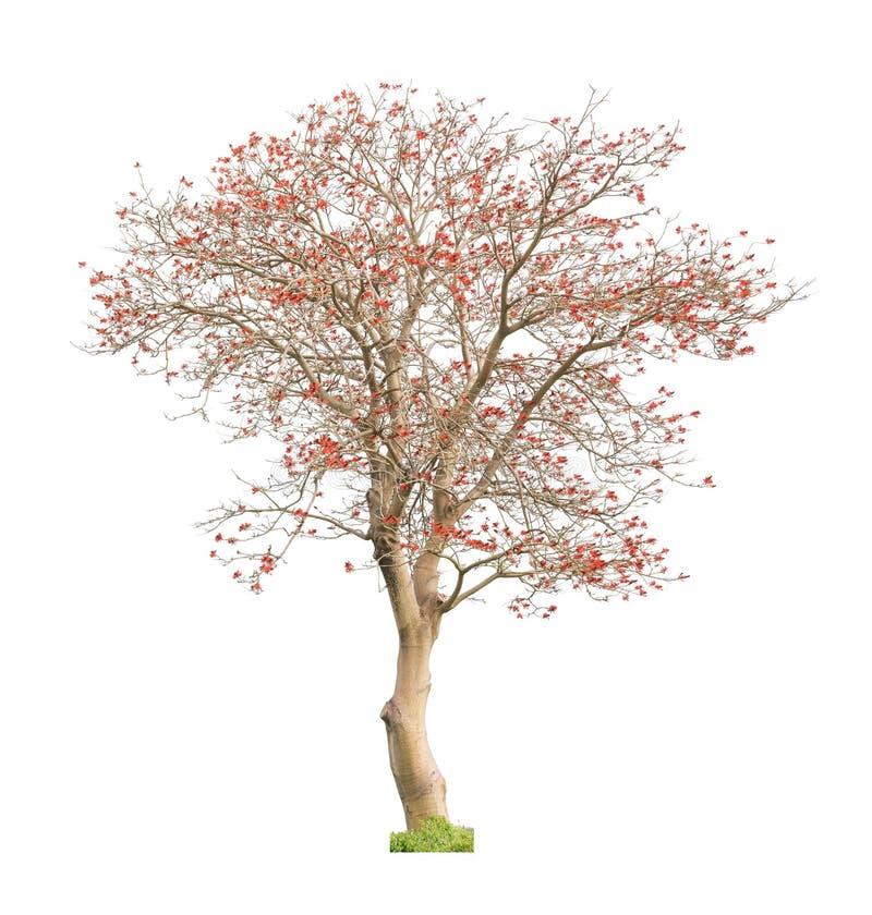 Härligt blommande träd för röd korall royaltyfri foto
