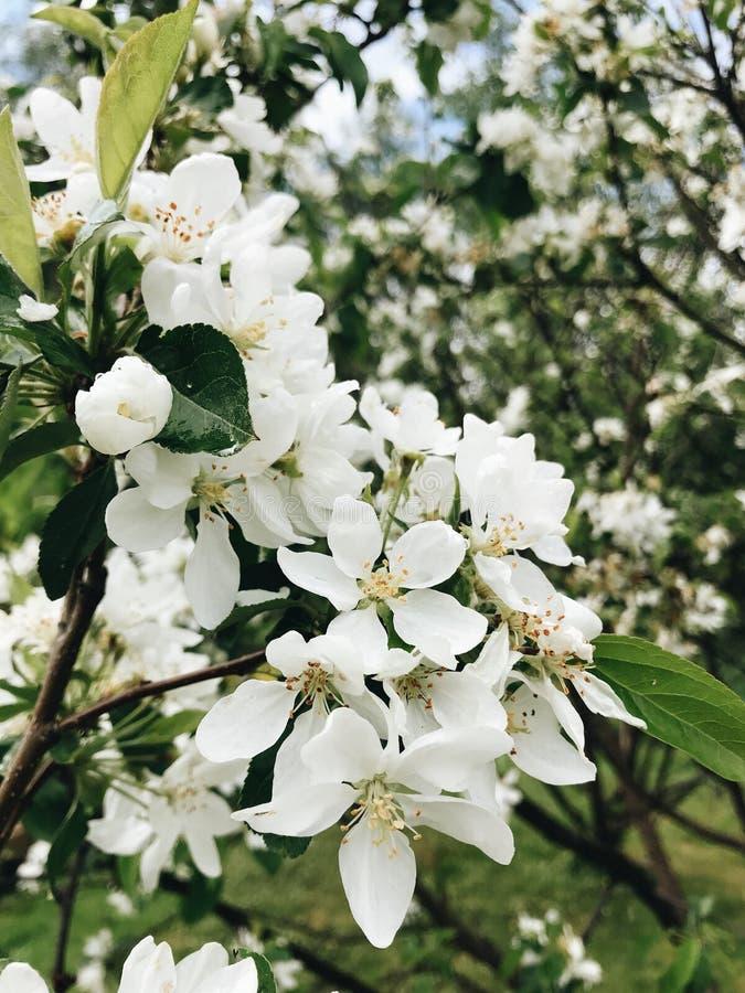 Härligt blomningApple träd royaltyfri bild