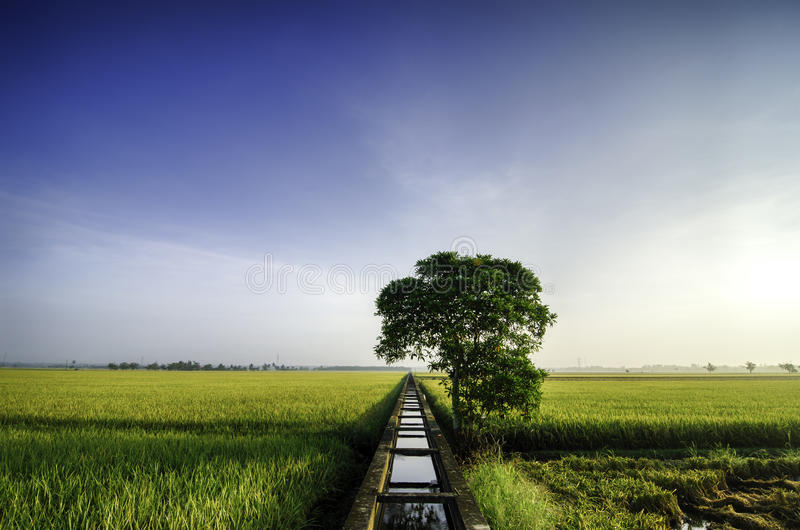 Härligt brett fält för siktsgulingrisfält i morgonen blå sky bakgrundskanalen cracked flottörhus grönt mudväxtvatten royaltyfri foto