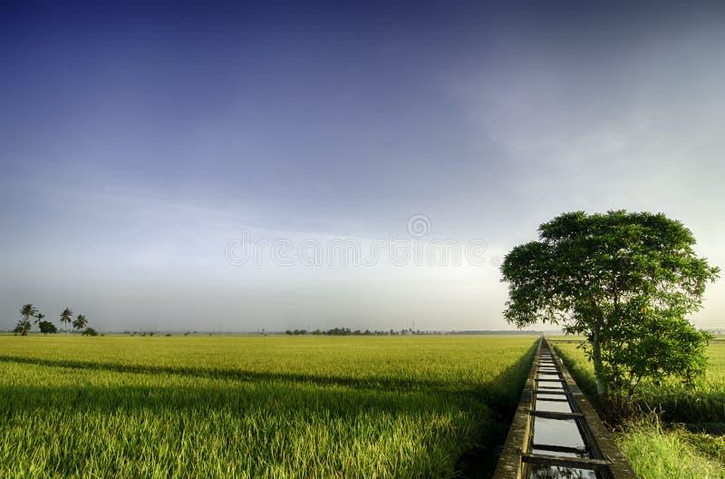 Härligt brett fält för siktsgulingrisfält i morgonen träd för blå himmel och singelpå det vänstert arkivfoton