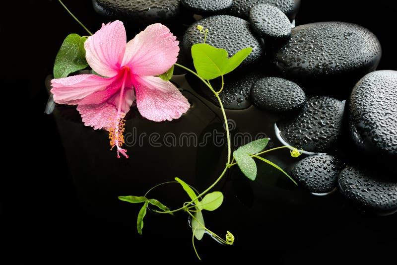 Härligt brunnsortbegrepp av den delikata rosa hibiskusen, grön ranka royaltyfri foto