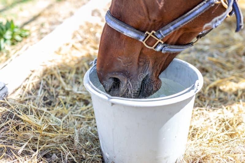 Härligt brunt fullblods- hästdricksvatten från hinken Törstat under varm sommardag Törstigt djur på lantgården royaltyfri fotografi