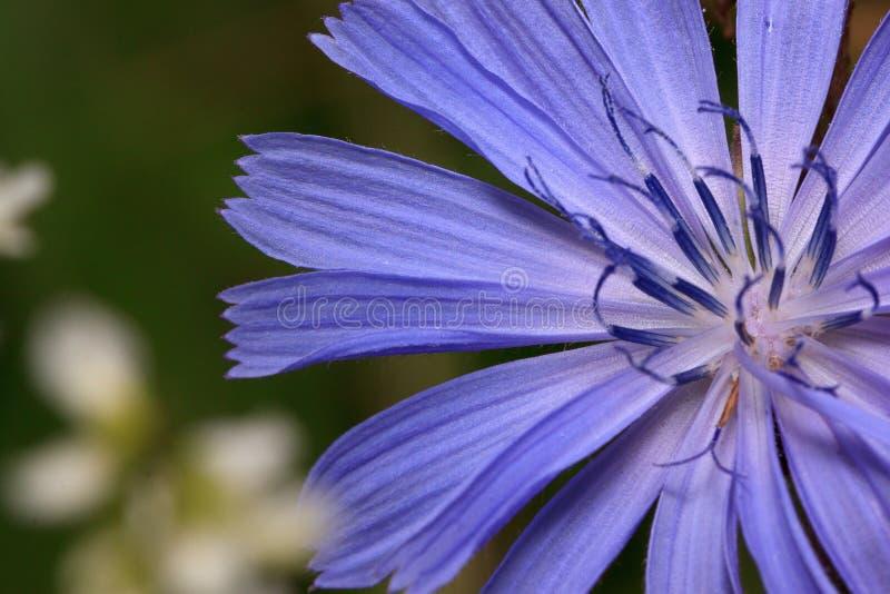 Härligt cikoriablommaslut upp Levande natur fotografering för bildbyråer