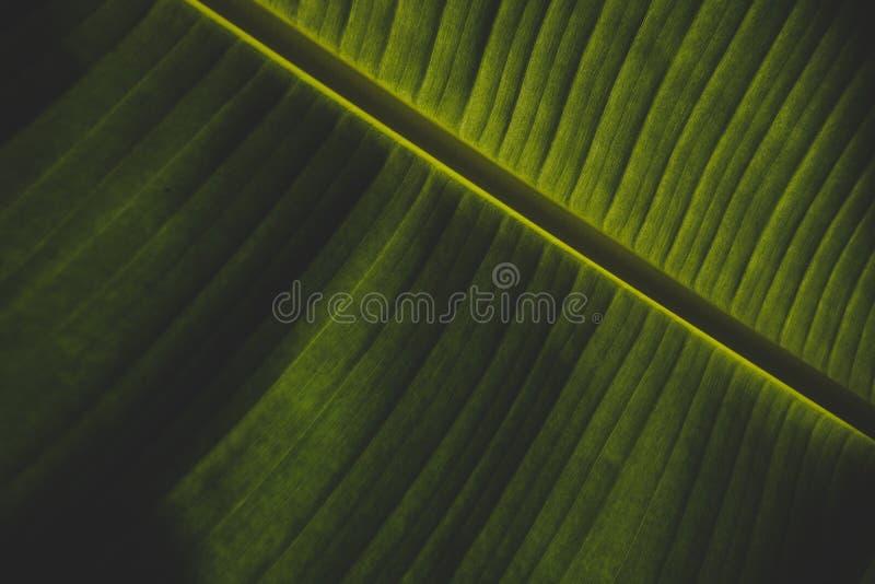 Härligt closeupskott av ett grönt bananblad royaltyfria bilder