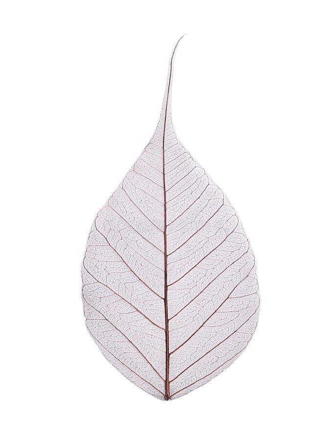 Härligt dekorativt skelett- blad arkivfoto