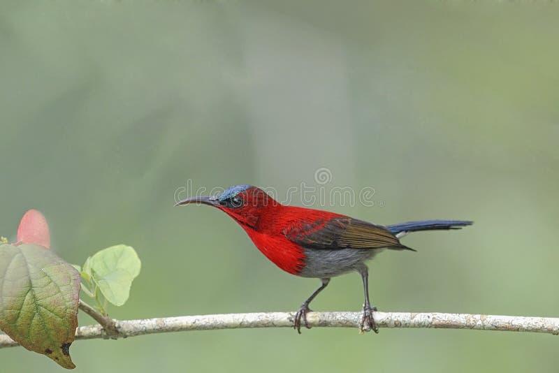 Härligt (den karmosinröda sunbirden) sätta sig för FÅGEL på filial royaltyfri fotografi