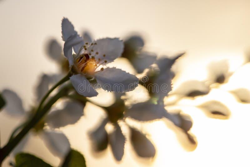 Härligt doftande för häggPrunus hagberry eller för mayday träd för padus, för hackberry, i strålarna av inställningssolen, på ett royaltyfri fotografi