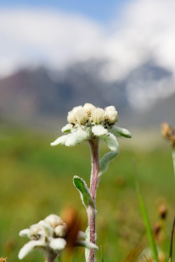 härligt edelweissblommaberg fotografering för bildbyråer