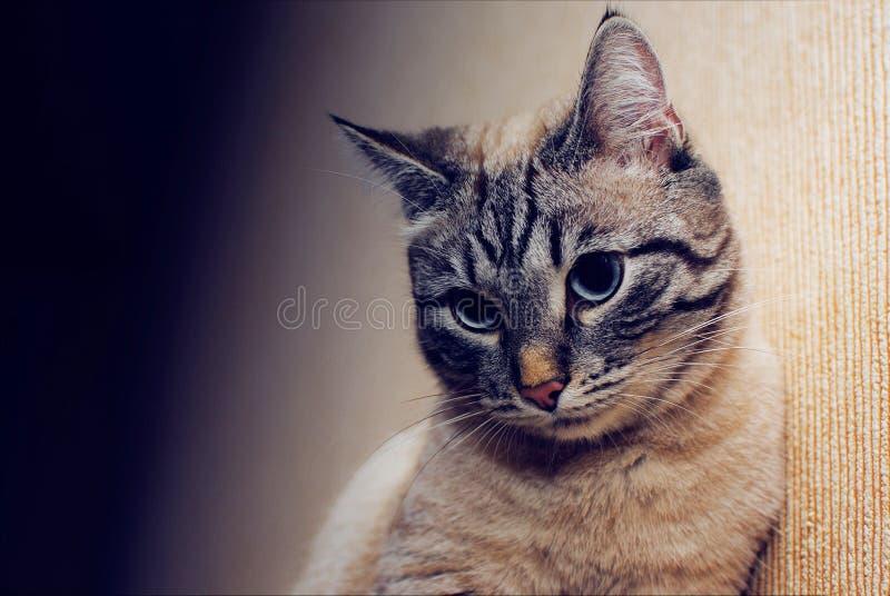 Härligt eftertänksamt, blygsamt, allvarlig blick för katt, närbild royaltyfri fotografi