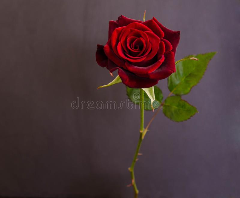Härligt enkelt mörker - röd ros royaltyfri bild