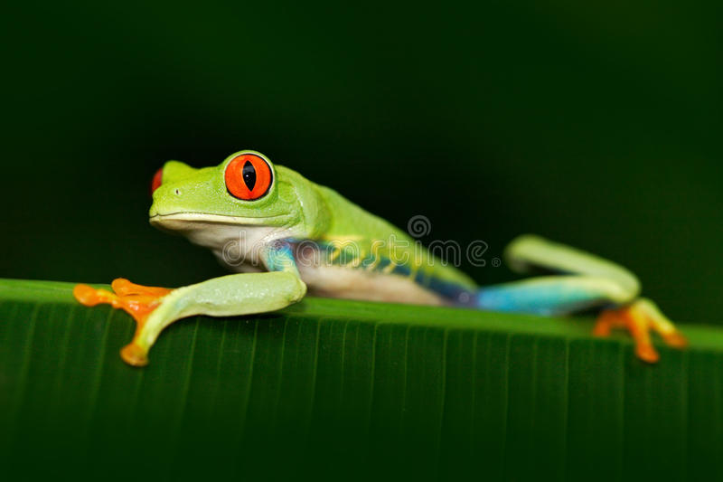 Härligt exotiskt djur från Central America Rödögd trädgroda, Agalychnis callidryas, djur med stora röda ögon, i naturHet arkivbild