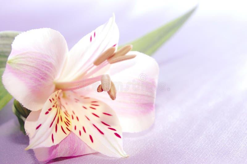 härligt exotiskt lilly arkivbilder