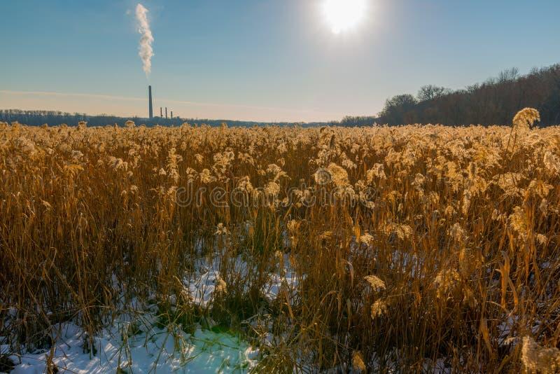 Härligt fält av gräs/vasser för guld- färg som vatten- är bakbelysta vid den ljusa solen med kolkraftväxten i bakgrund - på Minne royaltyfria foton