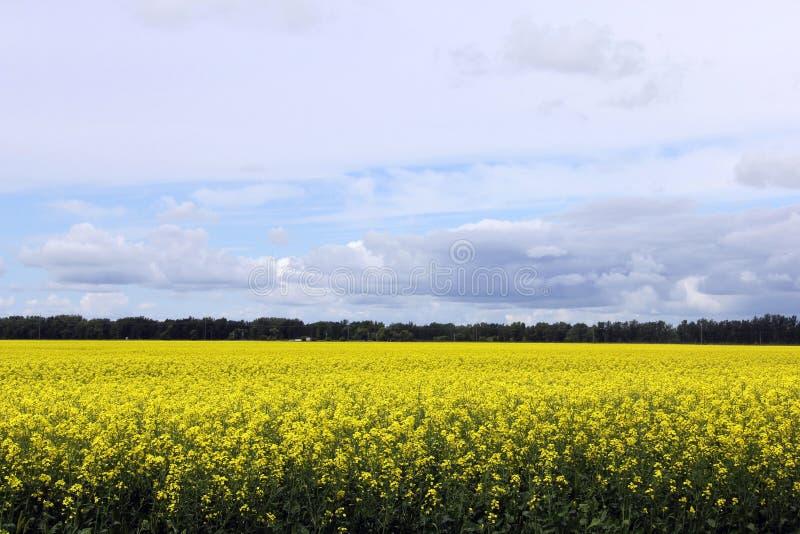 Härligt fält av Manitoba Canola 2 arkivfoto