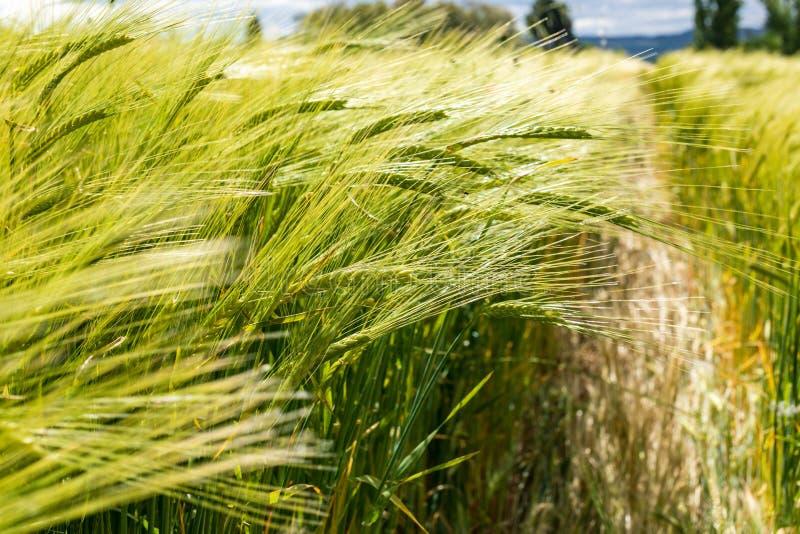 Härligt fält av sädesslag vete, korn, havre som är grön på en solig vårdag royaltyfri fotografi