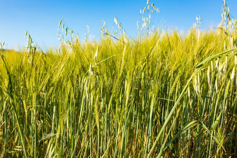 Härligt fält av sädesslag vete, korn, havre som är grön på en solig vårdag royaltyfri bild