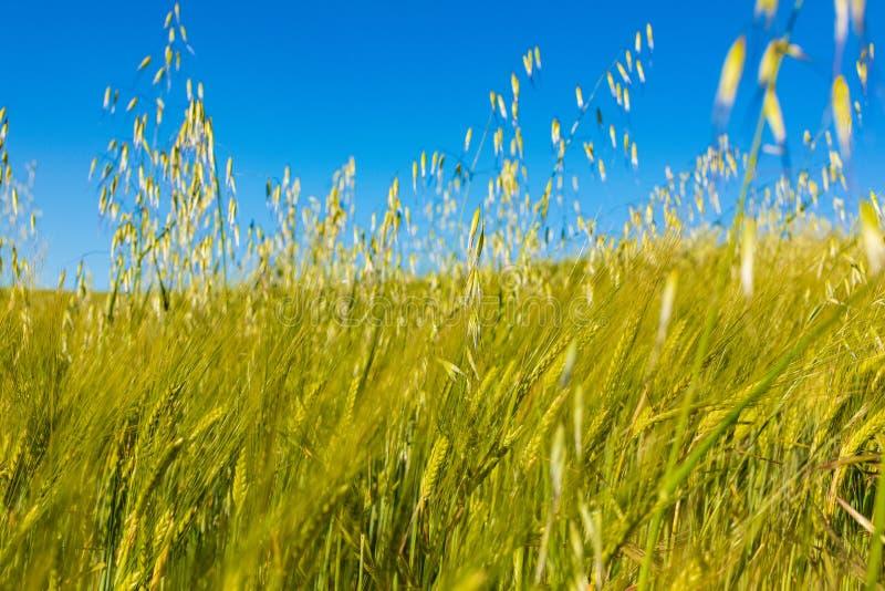 Härligt fält av sädesslag vete, korn, havre som är grön på en solig vårdag royaltyfria foton