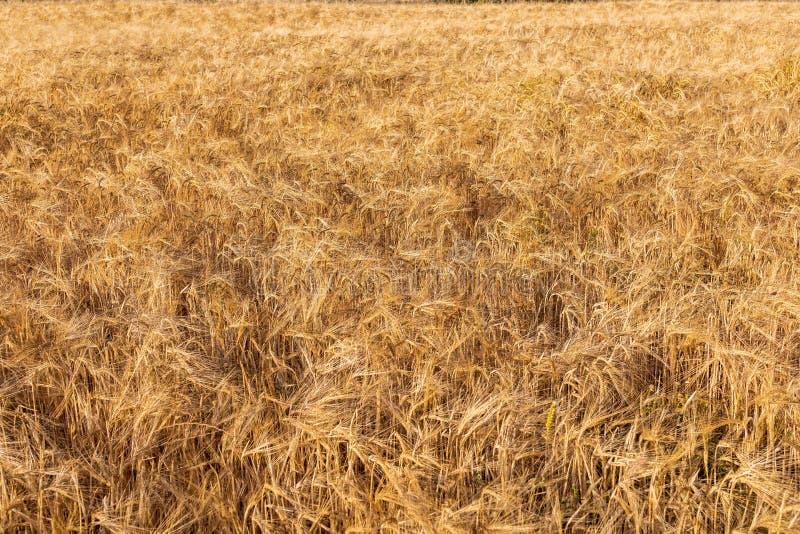 Härligt fält av sädesslag vete, korn, havre som torkas och som är guld- vid solen royaltyfri bild