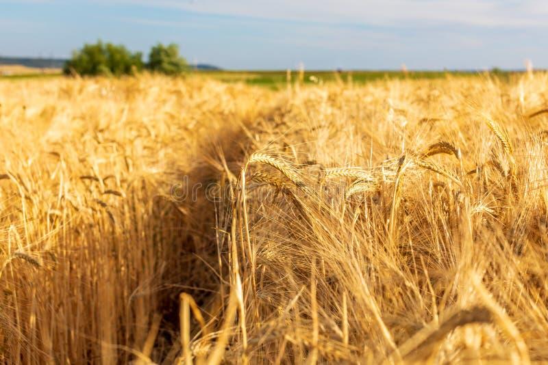 Härligt fält av sädesslag vete, korn, havre som torkas och som är guld- vid solen royaltyfri fotografi