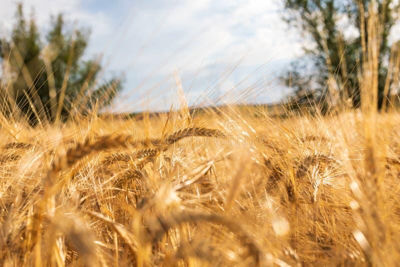 Härligt fält av sädesslag vete, korn, havre som torkas och som är guld- vid solen royaltyfri foto