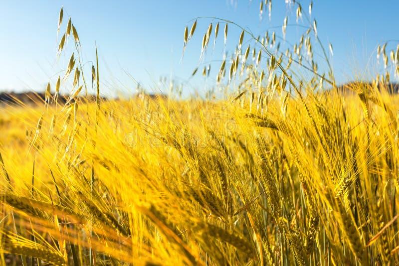 Härligt fält av sädesslag vete, korn, havre som torkas och som är guld- vid solen royaltyfria bilder