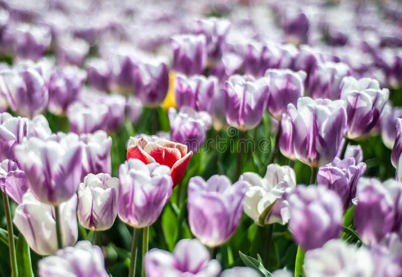 Härligt fält av vit-lilor tulpan med en guling-röd blomma på mitten, oskarp bakgrund royaltyfri bild