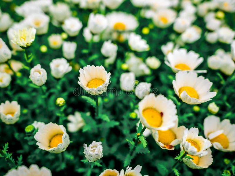 Härligt fält för blommakamomillöverkant ner av grönt gräs som bakgrund i för daggdroppar för natur det färgrika vattnet Grunt dju arkivbilder