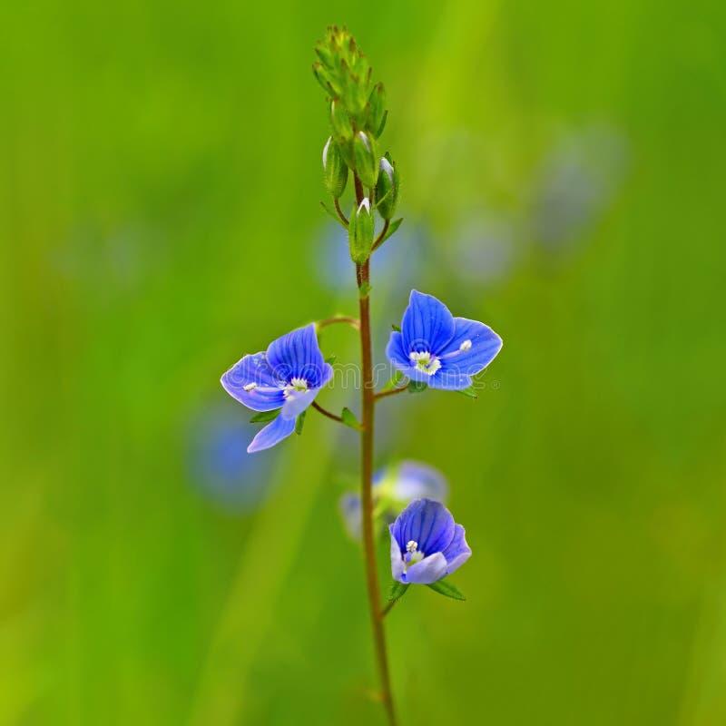 Härligt färgskott av den blåa lilla blomman i gräs Närbildsikt i natur fotografering för bildbyråer