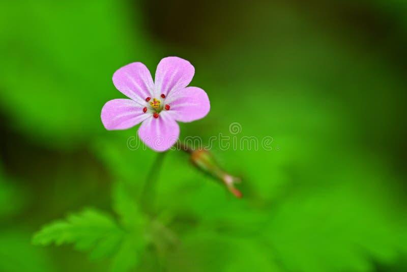 Härligt färgskott av den violetta lilla blomman i gräs Närbildsikt i natur royaltyfria bilder