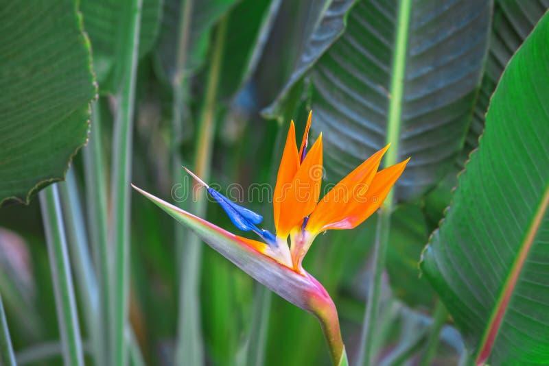 härligt fågelblommaparadis Tropiska blommaStrelitziareginae på grön bakgrund arkivbilder