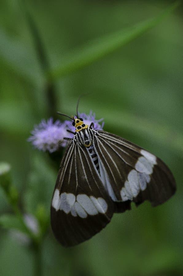 Härligt fjärilskryp på växten i Malaysia arkivbilder