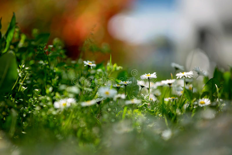 Härligt flied med tusenskönor blommar, grunt djup av fältet arkivbilder
