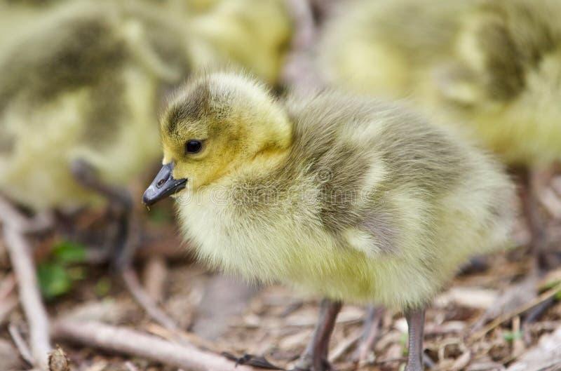 Härligt foto av unga fågelungar av Kanada gäss som ser något royaltyfri bild
