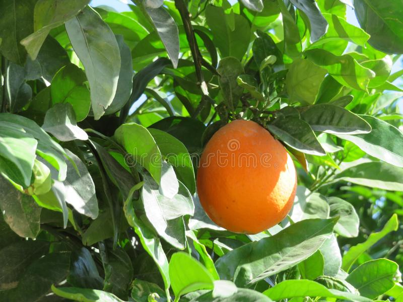 Härligt fruktträd av apelsiner av saftiga frukter arkivbilder