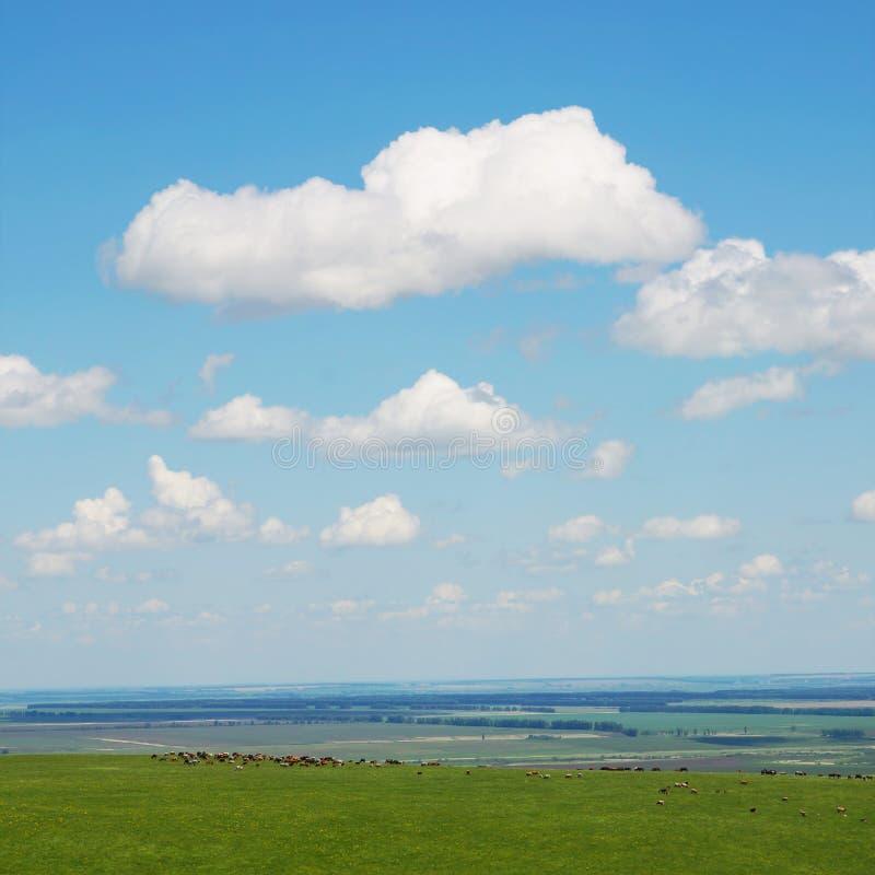 Härligt fyrkantigt sommarlandskap med en flock av kor som betar på avlägsna kullar royaltyfria foton