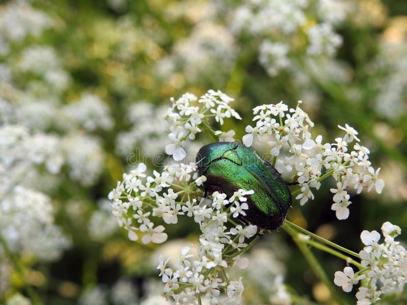 Härligt grönt glänsande fel på vita blommor, Litauen royaltyfria bilder