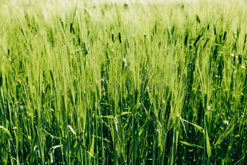 Härligt grönt korn som växer i fältet, lantligt landskap finland royaltyfria foton