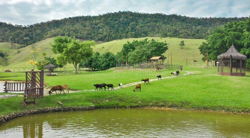 Härligt grönt landskap med kalvar, sjön, träd, moln och kullen i Brasilien arkivfoton