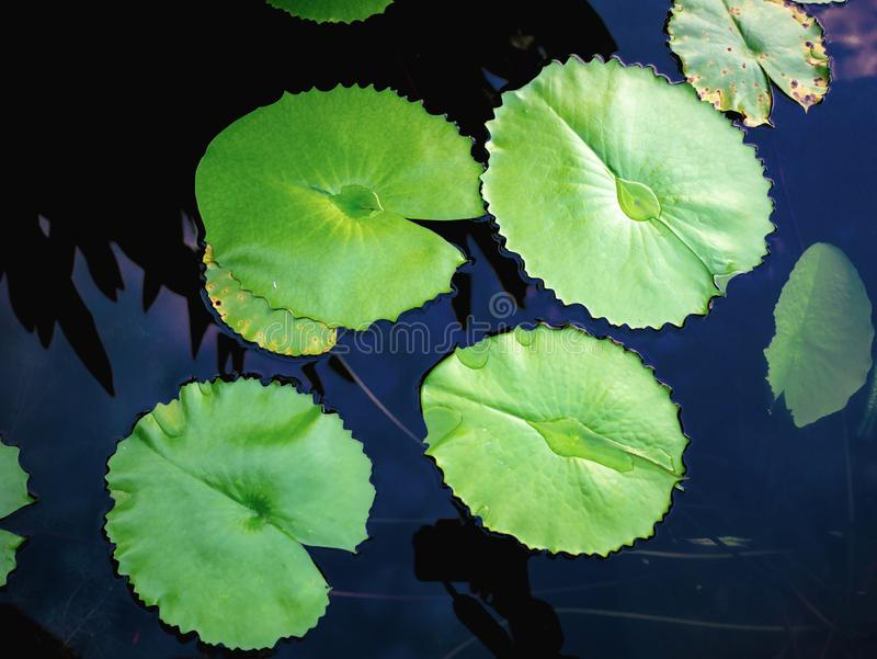 Härligt grönt lotusblommablad i vattendammet arkivbild