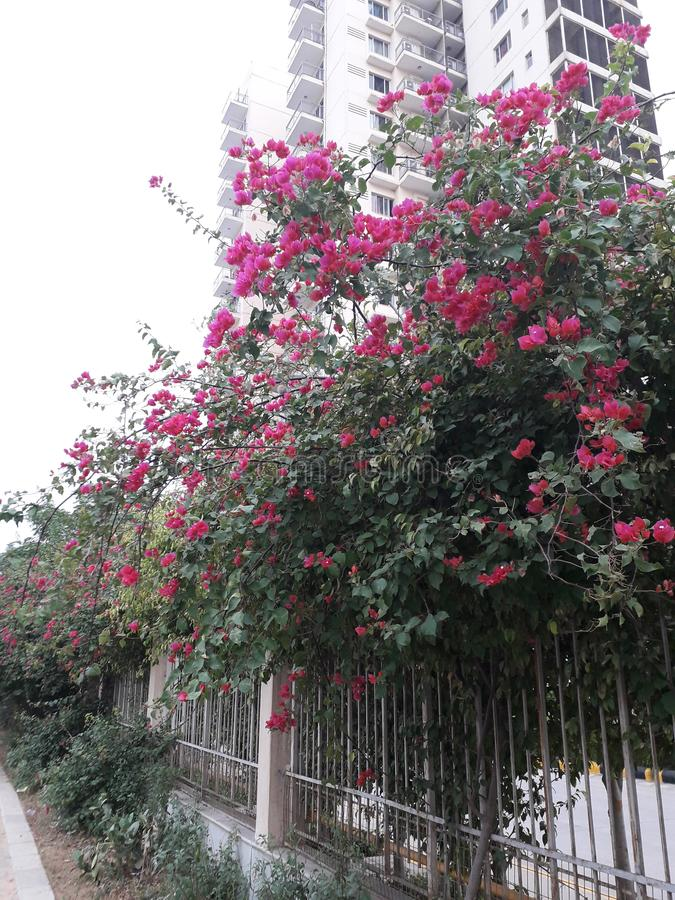 Härligt grönt träd och rosa färger fotografering för bildbyråer