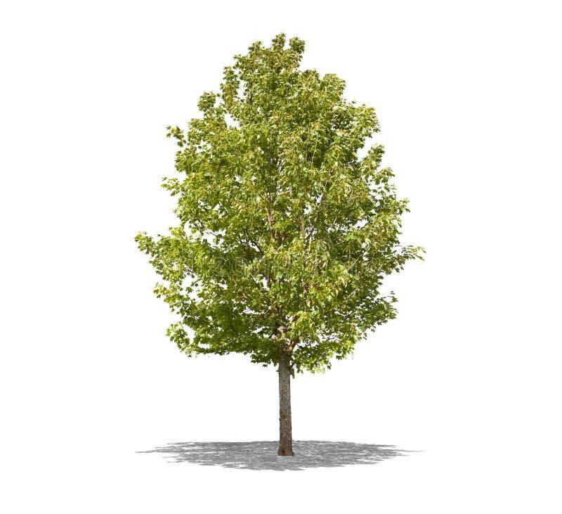 Härligt grönt träd på en vit bakgrund i hög definition arkivfoto