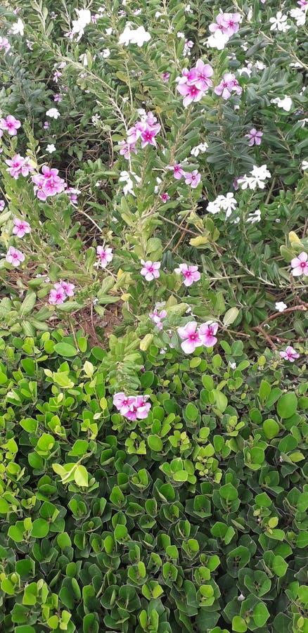 Härligt greeträd för natur och rosa vita blommor som detta samhälle parkerar royaltyfria foton