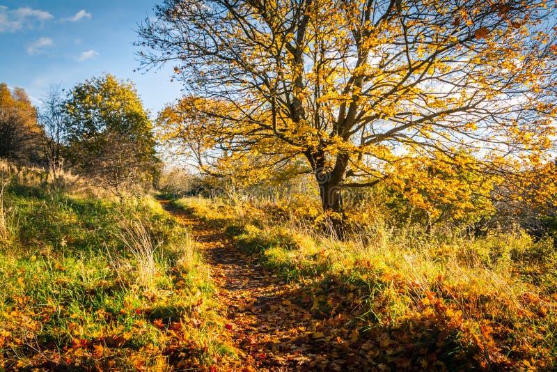 Härligt guld- höstlandskap med träd och guld- sidor i solskenet i Skottland arkivfoton