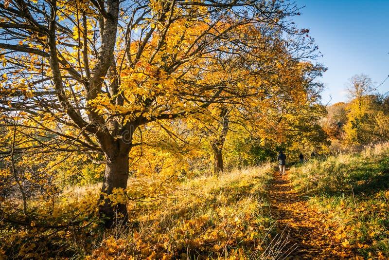 Härligt guld- höstlandskap med träd och guld- sidor i solskenet i Skottland royaltyfria bilder